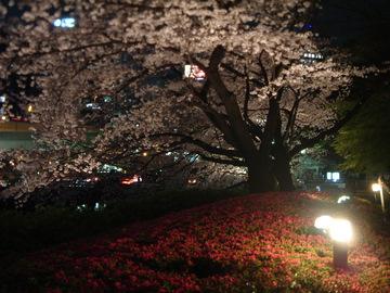 赤プリ桜DSCF0023.JPG